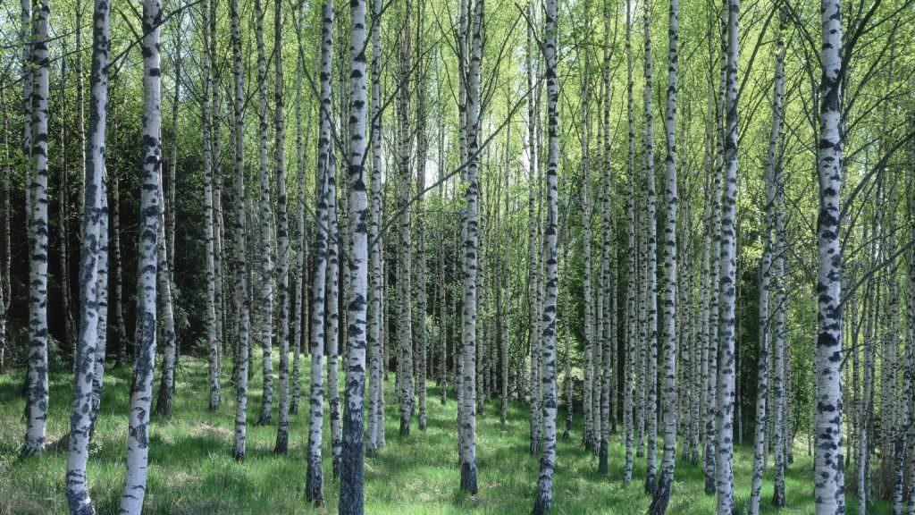 Header_PL_birch_forest_887-1600x900